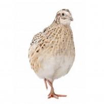 Overige vogels